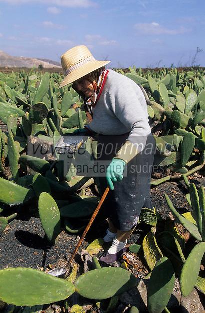 Europe/Espagne/Canaries/Lanzarote/Guatiza : Carmen récolte la cochenille dans un champ de cactus
