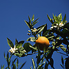 Ripe orange fruit and white blossoms against deep blue sky<br /> <br /> Naranja madura y azahares con cielo azul<br /> <br /> Reife Orange und weiße Orangenblüten gegen tiefblauen Himmel<br /> <br /> 3448 x 3448 px<br /> 150 dpi: 58,39 x 58,39 cm<br /> 300 dpi: 29,19 x 29,19 cm<br /> original: 35 mm slide transparency