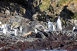Gentoo Penguins & Fur Seals