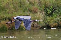 1223-06vv  Great Blue Heron - Ardea herodias © David Kuhn/Dwight Kuhn Photography
