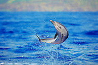pantropical spotted dolphin, Stenella attenuata, baby dolphin, leaping, offshore, Kona Coast, Big Island, Hawaii, USA, Pacific Ocean
