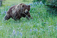 Brown Bear boar walks and eats grass among wildflowers lupine and chocholate lillies in Lake Clark National Park.  Silver Salmon Creek area. Western Alaska  Summer<br /> <br /> Photo by Jeff Schultz/  (C) 2020  ALL RIGHTS RESERVED