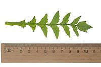 Hirtentäschelkraut, Hirtentäschel-Kraut, Hirtentäschel, Grundblatt, Capsella bursa-pastoris, Shepherd´s Purse. Blatt, Blätter, leaf, leaves
