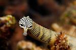 Striped Network Pipefish, Corythoichthys flavofasciatus, Lembeh Straits, Sulawesi Sea, Indonesia, Amazing Underwater Photography