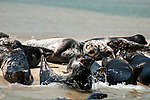Gray Seals hauled out on the Chatham Bars, Cape Cod.  A large bull male is seen in the background.  Bull Gray Seals can reach lentgths of 10 feet, and weight up to 900 pounds.