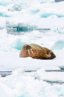 Male Atlantic walrus, Odobenus rosmarus rosmarus, on an ice floe, Spitsbergen, Norway, Europe