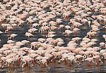 Lesser flamingos, Rift Valley region, Kenya