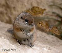 1117-0805  White-tailed Antelope Ground Squirrel, Ammospermophilus leucurus © David Kuhn/Dwight Kuhn Photography