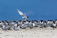 Flock of Lesser Crested Terns on Michaelmas Cay