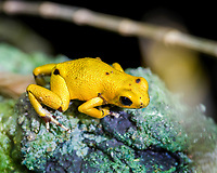 strawberry poison frog or strawberry poison-dart frog, Oophaga pumilio, formerly Dendrobates pumilio, color morph (c)
