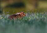 """WHAT'S UP DOC? <br /> <br /> This brown hare bears a striking resemblance to Bugs Bunny as he chews on a fresh grass root as he roams farmland in Milton Keynes, north-west of London. <br /> <br /> The Loony Tunes moment was caught by amateur photographer Lee Wilcocks. <br /> <br /> The wild brown hare is seen with his ears tucked back and a grass root draping from his mouth as he goes about the farmland in search for his supper. <br /> <br /> Mr Willcocks said """"I was watching this hare for 20 minted as he was chomping on free grass roots. He had no idea I was there"""".<br /> <br /> """"He definitely looks like Bugs Bunny, and interestingly whilst it's unclear as to whether Bugs Bunny is a rabbit or hare, when he first came to screens in the 1940's he was called a wild hare"""".<br /> <br /> Please byline: Lee Willcocks/Solent News<br /> <br /> © Lee Willcocks/Solent News & Photo Agency<br /> UK +44 (0) 2380 458800"""