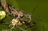 AS06-005c   Assassin Bug sucking fluid from bug