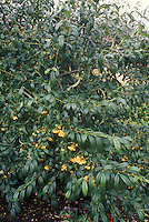 Lonicera x purpusii Winter Honeysuckle