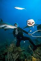 divemaster feeds Caribbean reef shark, Carcharhinus perezii, Bahamas, Caribbean Sea, Atlantic Ocean
