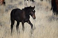 Wild Horse Colt, McCullough Peaks, Cody, Wyoming