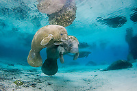 Florida Manatee, Trichechus manatus latirostris, A subspecies of the West Indian Manatee. Manatee congregate en masse at the Three Sisters Springs. Crystal River, Florida.