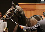 Hip #69 A Z Warrior consigned by Hill n'Dale Sales Agency sold for $1,250,000 to BLANDFORD BLOODSTOCK LTD at the Fasig Tipton November Sale on November 6, 2011.