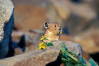 Pika (Ochotona princeps) eating groundsel flower, Pacific N.W.