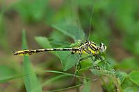 334120010 a wild male sulphur-tipped clubtail gomphus militaris perches on a plant leaf in southeast metropolitan park in austin travis county texas