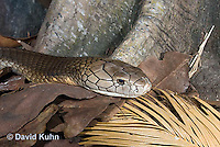 0503-1104  King Cobra (India, Largest Venomous Snake in the World), Detail of Head, Ophiophagus hannah  © David Kuhn/Dwight Kuhn Photography