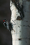 Downy Woodpecker in search of food in Grand Teton National Park.