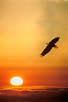 Bald Eagle and sunset (photo sandwich of two images).