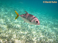 0109-1211  Horse-eye Jack (Giant-eye Jack) Over Seagrass in Caribbean Reef, Gamefish, Caranx latus  © David Kuhn/Dwight Kuhn Photography