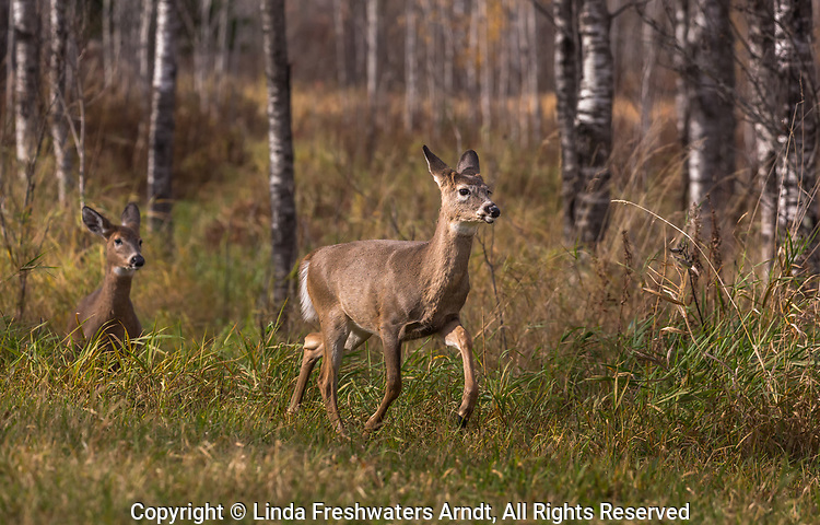 Two fawns emerging from a forest trail in northern Wisconsin.
