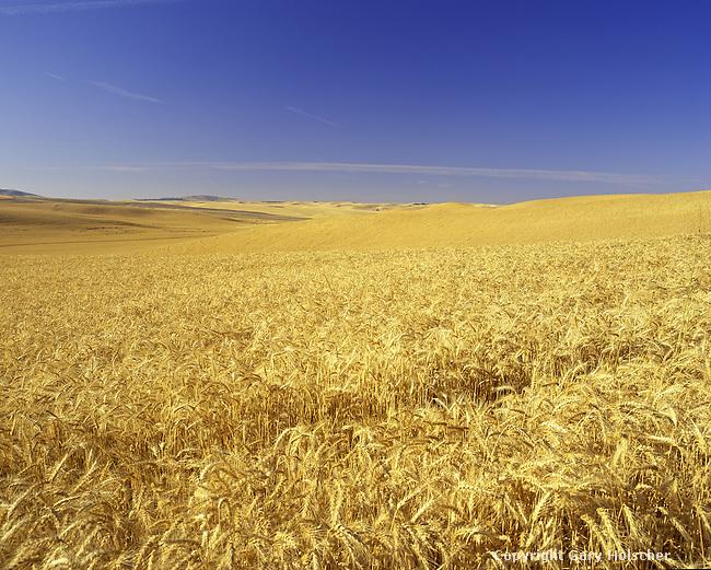 Wheat Field.  Palouse Region. Whitman Co. WA