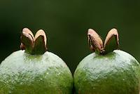 Kroonappel uit Costa Rica