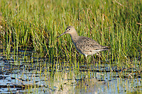 Willet (Catoptrophorus semipalmatus) in breeding plumage wading in a prairie marsh. Southeast Alberta, Canada. May.