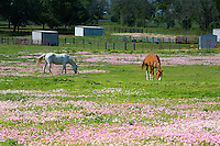 Quarter horses grazing in field of spring pink buttercups (speciosa) wildflowers near Independence, Texas