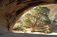 Juniper framed by Navajo Arch, Arches National Park, Utah.