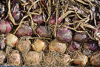 Harvested Onions bask in the sun