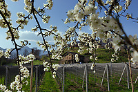 """Switzerland. Canton Ticino. Cagiallo. Spring time on Merlot Wineyard """"Ronco della Plana"""" belonging to winemaker  Sacha Pelossi. Cagiallo is a village and and is part of the Capriasca municipality. 25.03.2019 © 2019 Didier Ruef"""