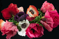 Bouquet of oriental poppy flowers