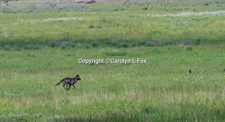 A black wolf runs across Lamar Valley in Yellowstone.