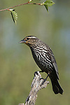 Red-winged blackbird -female
