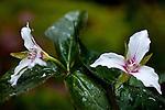 Painted Trillium  (Trillium undulatum) in Acadia National Park, Downeast, ME, USA
