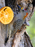 Adult male golden-fronted woodpecker at orange feeder