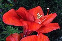 Flores. Amarilis, Açucena (Hippeastrum hybridum). SP. Foto de Manuel Lourenço.