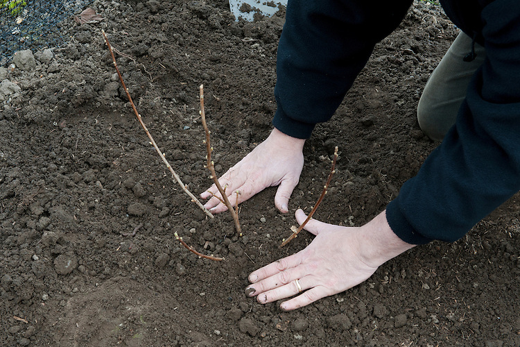 Planting a container-grown blackcurrant bush. Image 5 of 10.