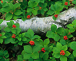 Big Bay State Park, WI<br /> Bunch Berries (Cornus canadensis) and white birch log, Madeline Island, Apostle Islands