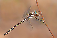 Insects: dragonflies S-Z (common names)