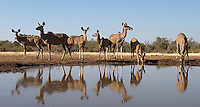 This herd of female kudus was photographed at the Mashatu hide.