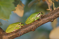 Common Tree Frog, Hyla arborea, National Park Lake Neusiedl, Burgenland, Austria, April 2007