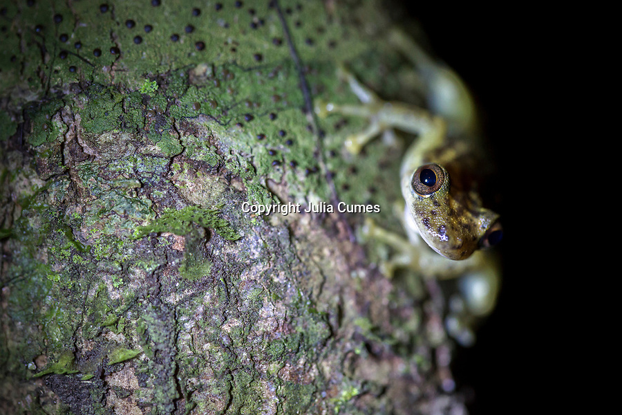 An emerald tree frog sits on a tree in Peruís Amazon Jungle.