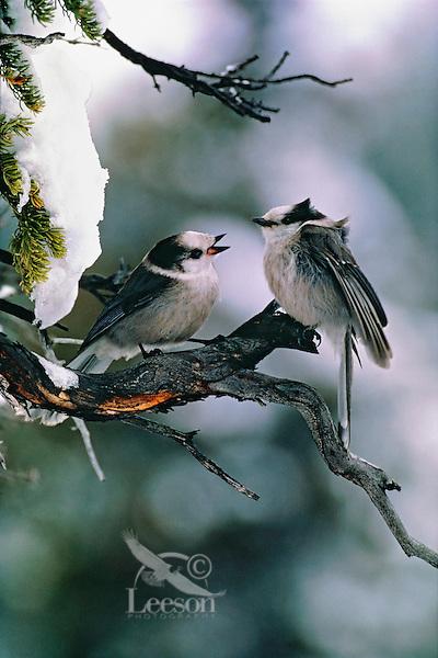 Gray Jays (Perisoreus canadensis) chatting. Winter. Jasper National Park, Alberta. Canada.