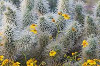 Brittlebush or brittlebrush (Encelia farinosa) flowers growing near cholla cactus.  Arizona.  Feb-March.  Common desert wildflower.