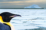 Largest of the living penguins, standing 4ft tall. Emperors can be identified by their open, yellow, tear-shaped ear patches. Natural habitat is on the shores of Antarctica. (Composite)
